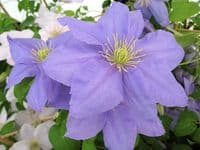 Clematis CEZANNE Evipo023